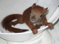 Eichhörnchen, 44 Tage alt