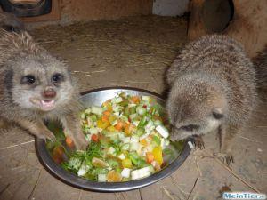Erdmännchen beim Fressen