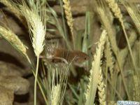 Eurasische Zwergmaus
