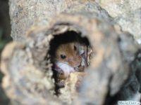 Eurasische Zwergmaus, Nest
