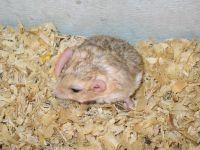 haltungsbericht fettschwanz rennmaus 2