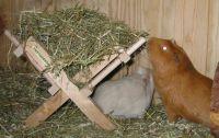 haltungsbericht meerschweinchen 6