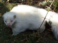 Streifenskunk in Farbe Albino (Foto von Jennifer)